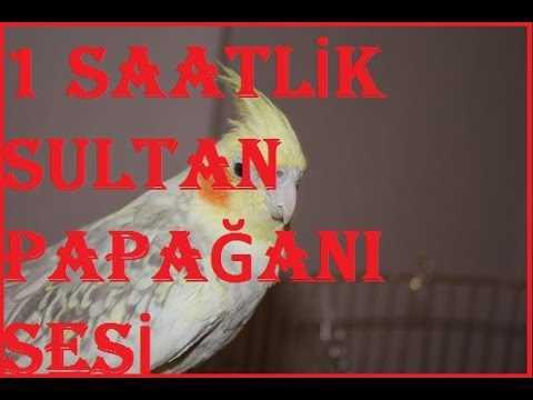 1 Saatlik Sultan Papağanı Sesi