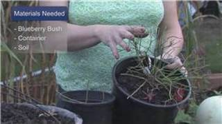 Gardening Tips : How to Grow a Blueberry Bush