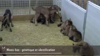 Mises Bas : génétique et identification