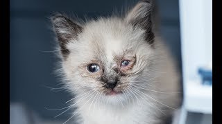 Treating an Eye Infection in a Kitten
