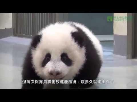 Baby Panda is taken to bed by Mom Panda