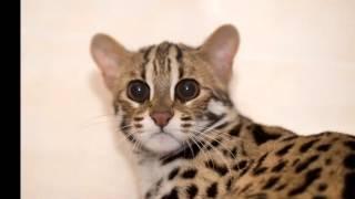 Beautiful photo Bengal cat breed