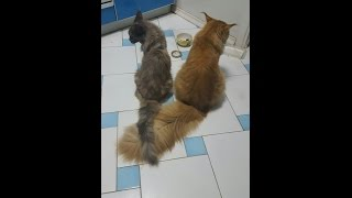 Вязка кошки мейн кун.Питомник кошек мейн кун_MisterCoon