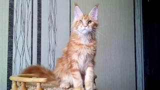 Кошка мейн кун 5 месяцев. Imperia Helen Vitta