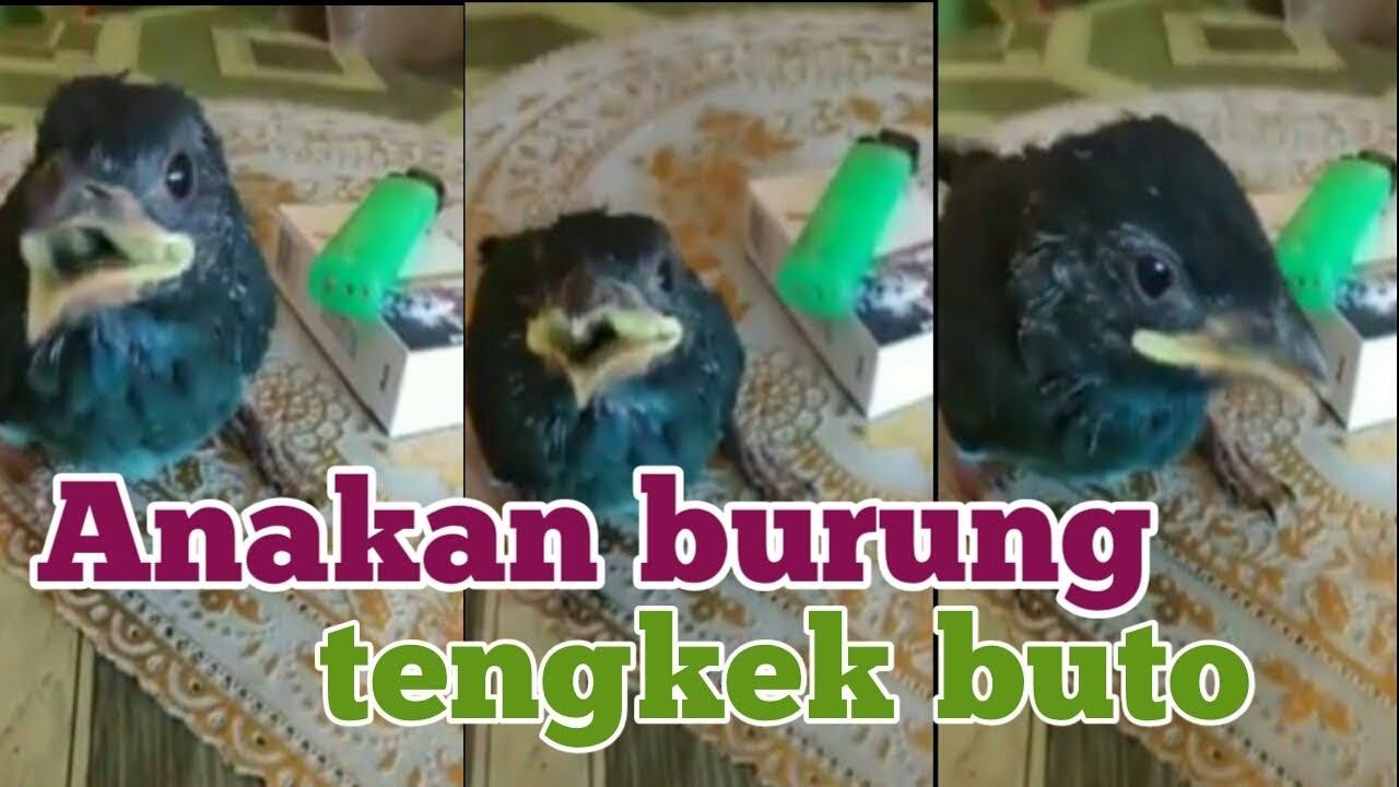 Anakan Burung Tengkek Buto Youtube