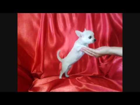 Как фотографировать собак | Ошибки и советы | Чихуахуа Софииз YouTube · С высокой четкостью · Длительность: 6 мин37 с  · Просмотры: более 103000 · отправлено: 30.11.2014 · кем отправлено: Magic Family