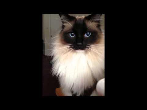 Регдолл, или рэгдолл (Ragdoll cat) породы кошек( Slide show)!