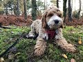 Jack - 13 week old Cockapoo puppy - 3 weeks residential dog training