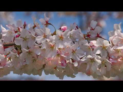 Robin Spielberg - Cherry Blossom