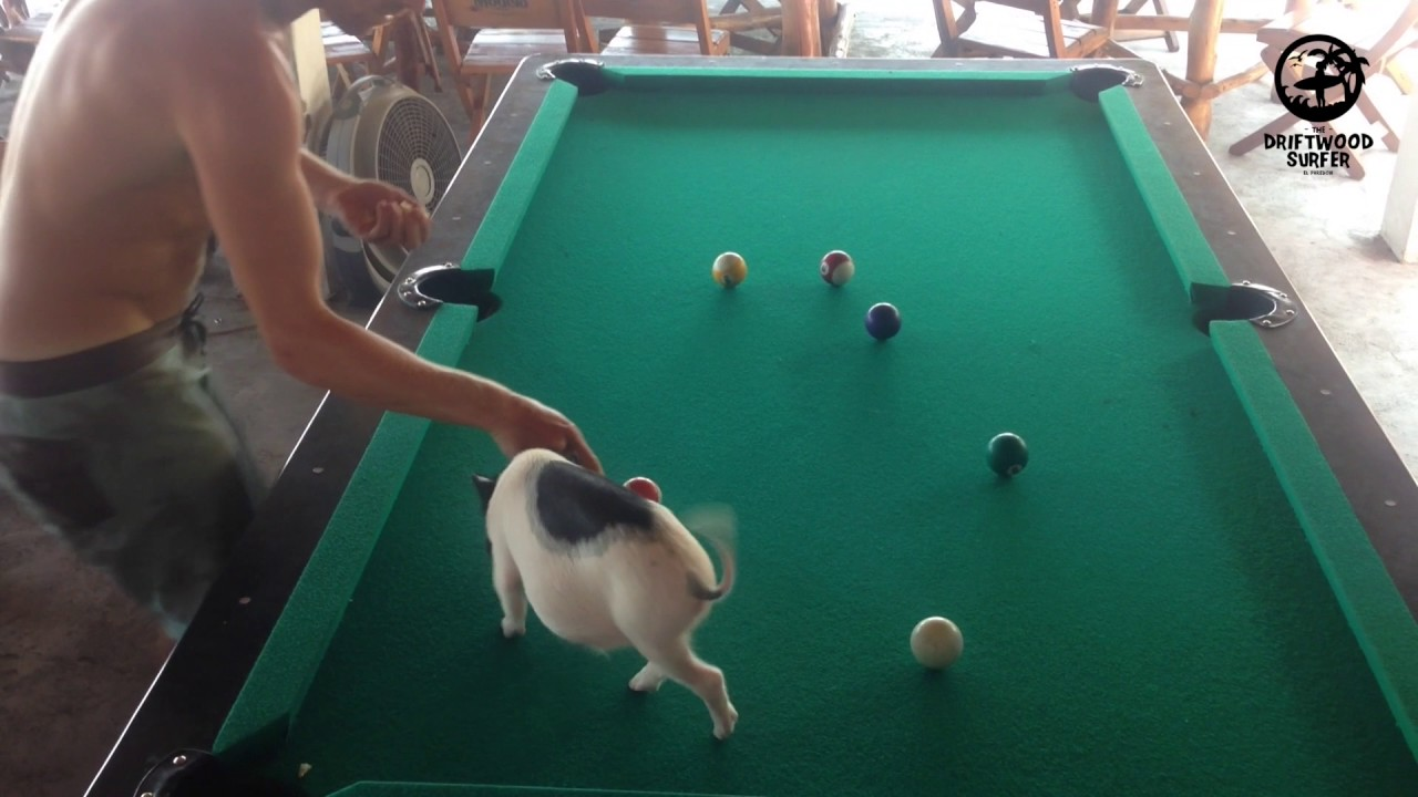 Micro Pig A Cute Mini Pig Clears The Pool Table The Driftwood - El pool table