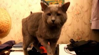 Котик британец жгет  Прикол с котом! РУССКАЯ ГОЛУБАЯ