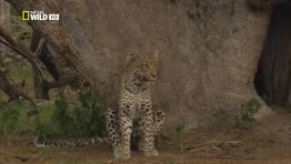 Дикая природа. Необычный леопард. Совершенная кошка.