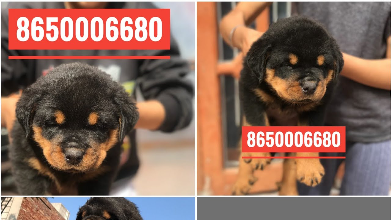 Rottweiler Male And Female Puppies For Sale Pure Quality