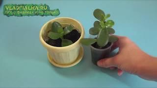 видео: Денежное дерево: Как правильно его посадить чтоб велись деньги