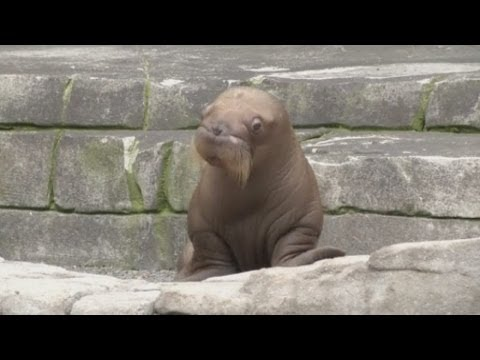 CUTE! First ever walrus pup born in German zoo makes its debut