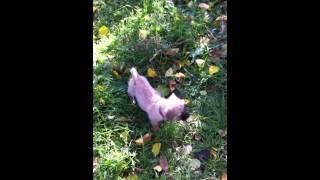 Cairn Terrier / Dachshund Mix 3