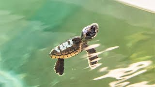baby-sea-turtles-the-pool-boys-live-webcam