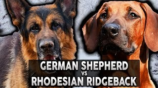 GERMAN SHEPHERD VS RHODESIAN RIDGEBACK! The Best Guard Dog Breed For First Time Owners!