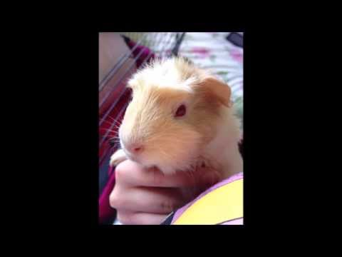 guinea-pig-cyst-removal
