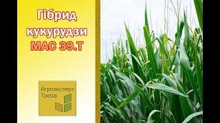 Кукуруза Мас 39 Т  🌽 - описание гибрида 🌽, семена в Украине