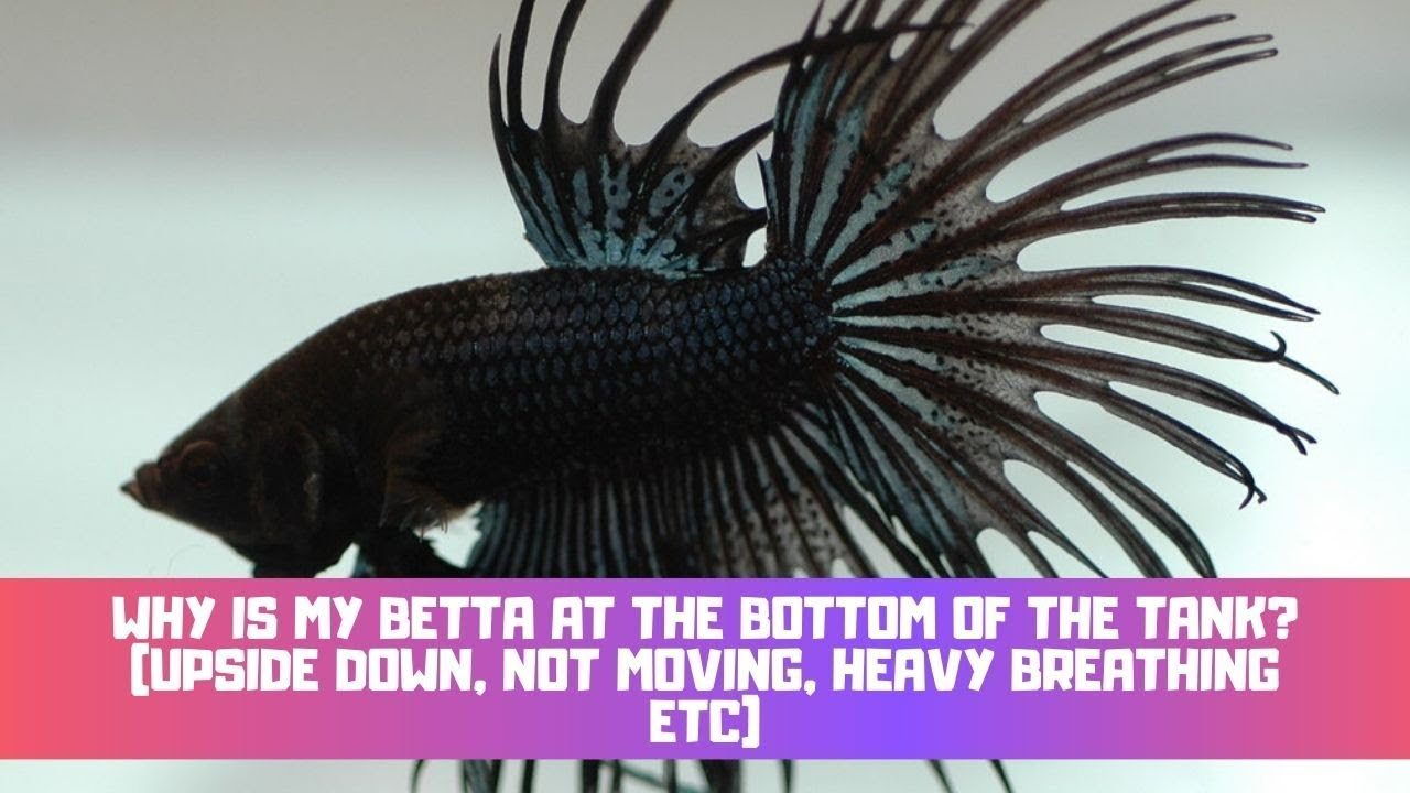 Dying why betta fish do my keep Why Did