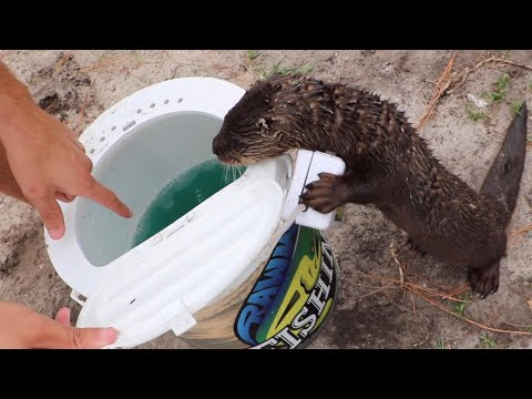 Training BABY Otter To Hunt Fish!!