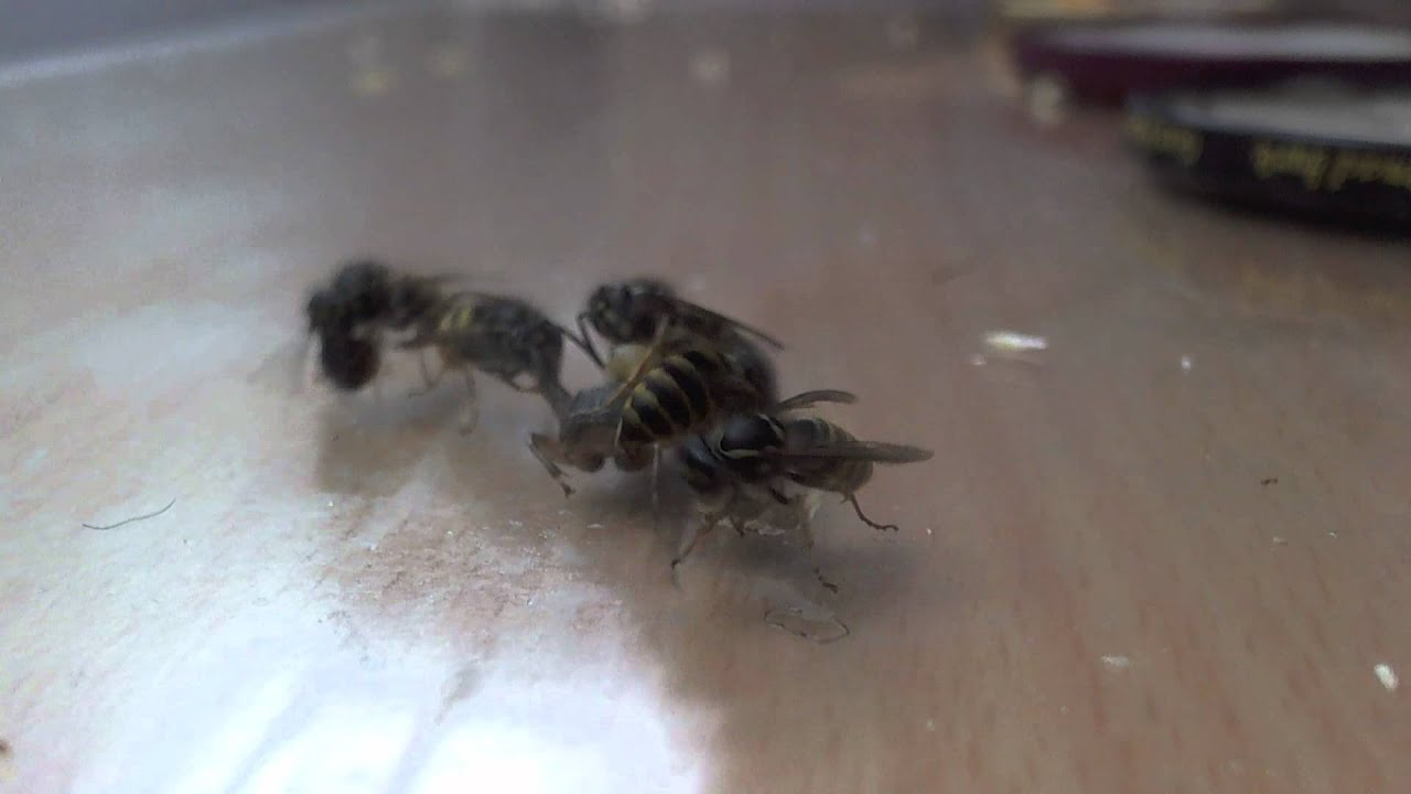 13-9-2012 : Yellow jacket attack, kill(BRUTAL) and consume ...