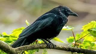 कौवे अपनी मौत कभी नही मरते जानिए इसके पीछे की कहानी | jmd news dharmik |