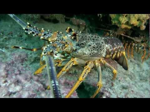 """Gopro HD Scuba Diving - """"Westside"""" Port Phillip Bay"""
