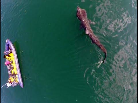 Basking Sharks in Cork harbour, Ireland