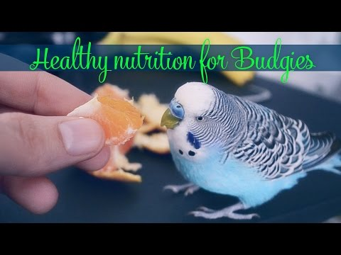 Fresh fruits - Healthy nutrition for Budgies