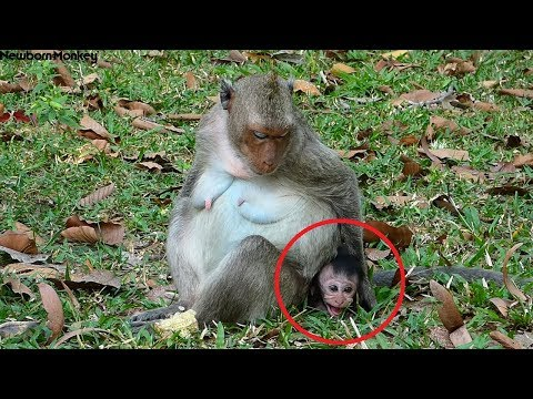 Pity baby monkey, Red shout cry heavy loud cus Rossa not permit to have milk