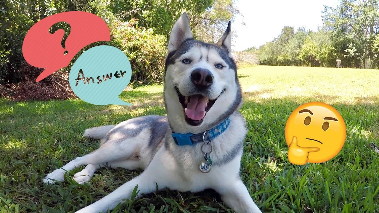 What's The Future of My Husky's Channel Looking Like? - HUGE Question and Answers Video! (