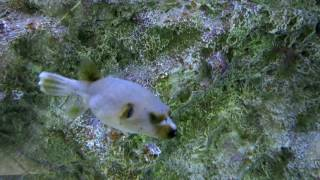 Black-spotted fish-dog Чернопятнистая рыба-собака