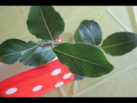 Как размножается лавровый куст