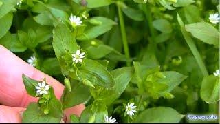 Voici quelques Plantes sauvages comestibles et médicinales .