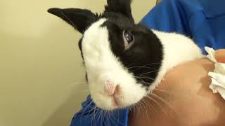 Trying to wipe a rabbit's nose!