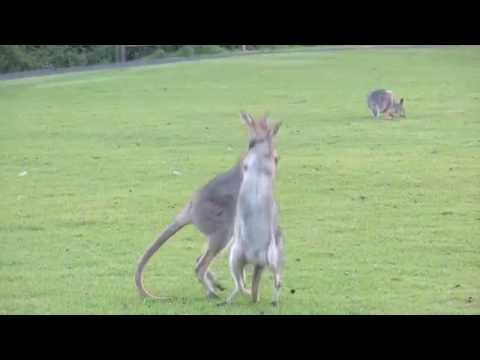 Roo Fight - Bunya Mountains National Park
