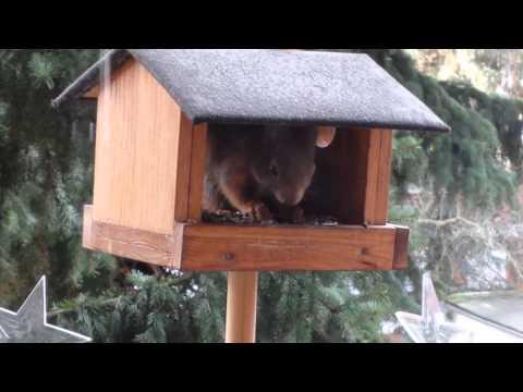 Eichhörnchen in Vogel - Futterhaus