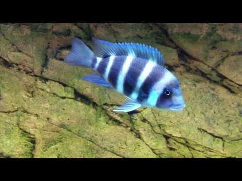 Cyphotilapia gibberosa blue Zambia  F1 juveniles group - PISCES