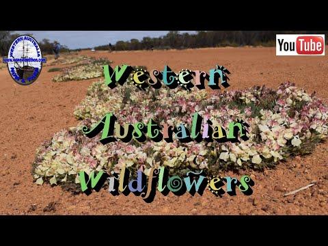 Western Australian Wildflowers - A