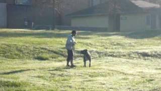 La Onda / Scandifio's Damian Cane Corso Schutzhund Tracking Training