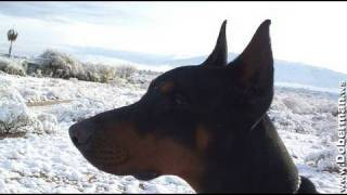Doberman Pinscher Review