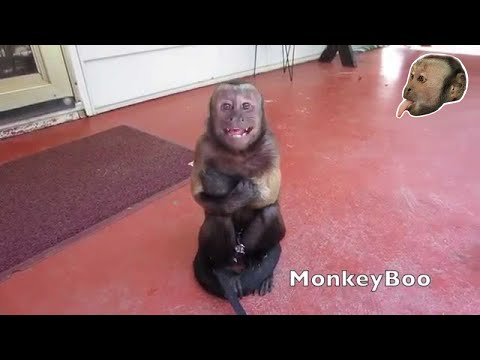 Capuchin Monkey Cry Baby!