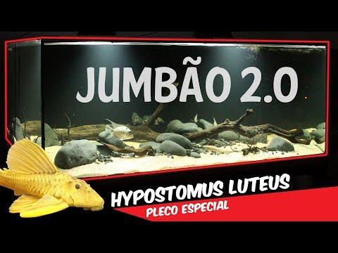 Jumbão 2.0 Update - Hypostomus Luteus