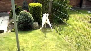 Minnie - Boxer - Needs A Home Rspca Macclesfield