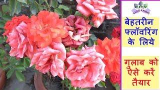 Preparing Rose plant for a super flowering/गुलाब को बेहतरीन फ्लॉवरिंग के  लिये ऐसे तैयार करें।