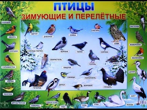 Перелетные птицы: названия для детей, описание, список. Фото 87