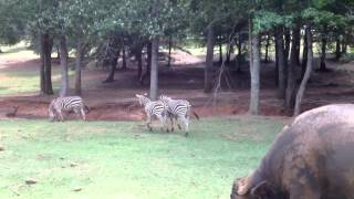 Zebra Fight to the Death