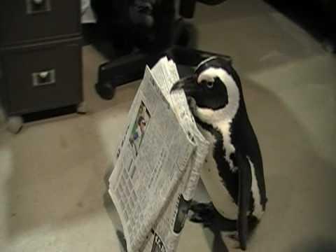 掛川花鳥園 新聞を持ってくるペンギン